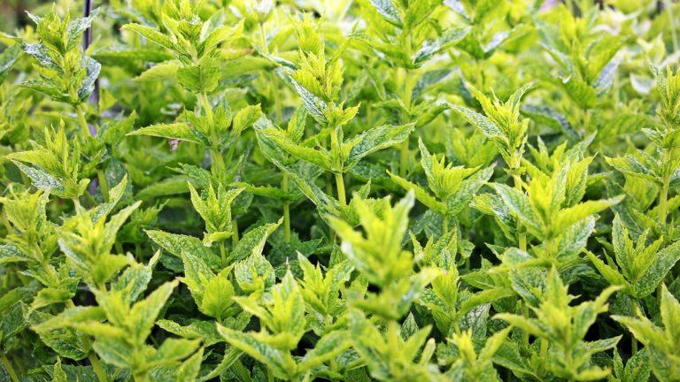 herb CBD